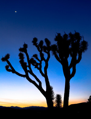 silhouette joshua tree sunset twilight travel