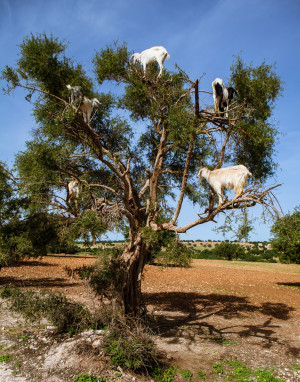 Goats tree animals feeding morocco travel