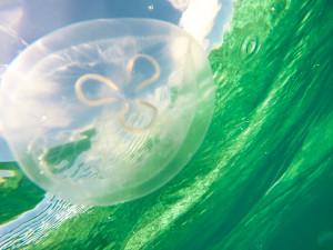 jellyfish in ocean water caribbean belize