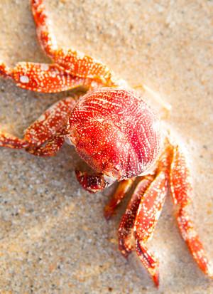 red crab beach Caribbean nicaragua island