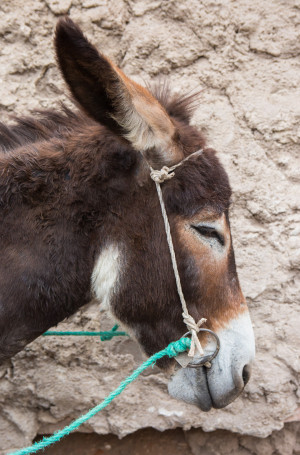 Portrait of peaceful donkey in Marrakech while traveling