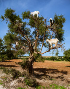 moroccan-goats-trees-travel-photography