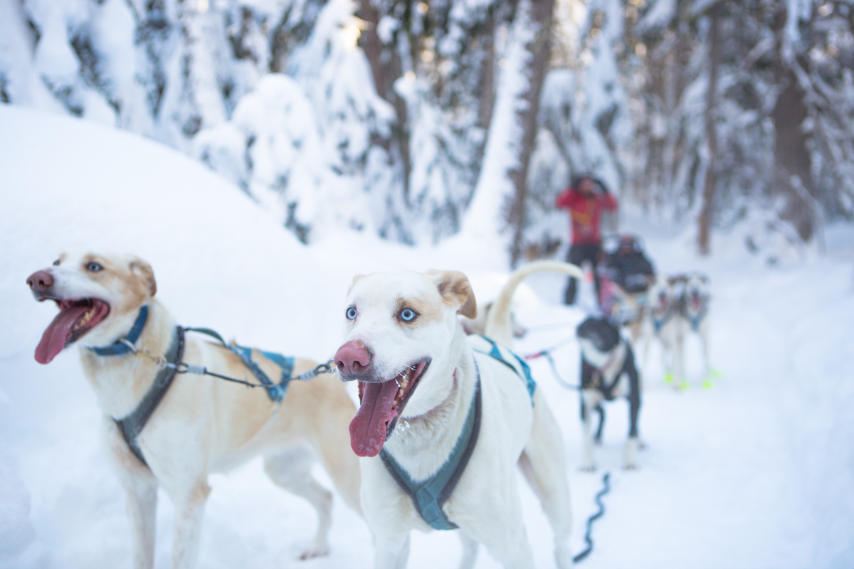 Dogs-sledding-winter-whistler-adventure-tourism