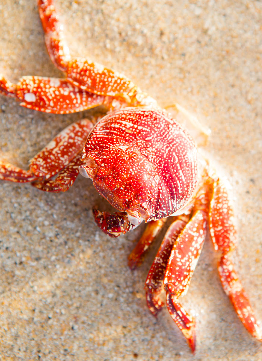 Red_Crab_Brach_Tropical_Sand