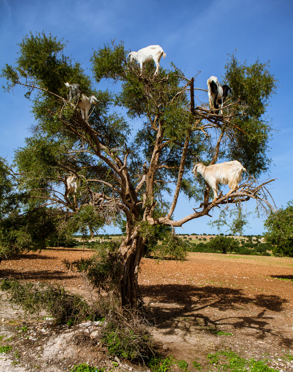 Goats_In_Tree_Morocco_Argan