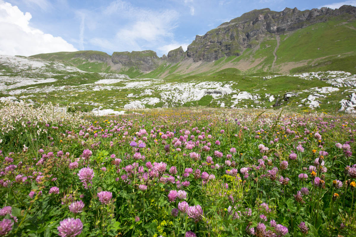 French_Alpine_flowers_outdoors_hiking