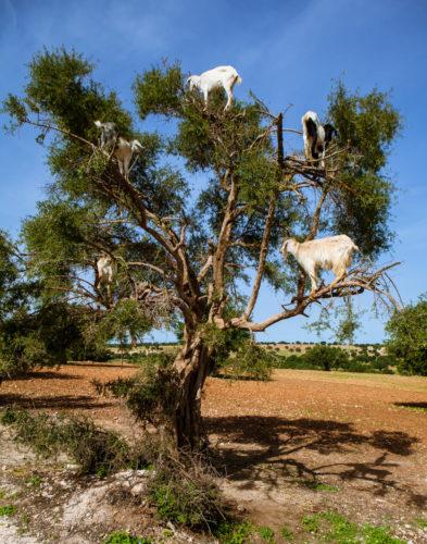 Goats_In_Tree_Morocco_Argan