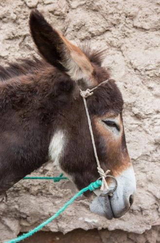 Marrakech_Donkey_Portrait
